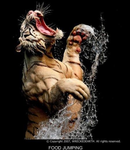 copy-of-panthera-tigris